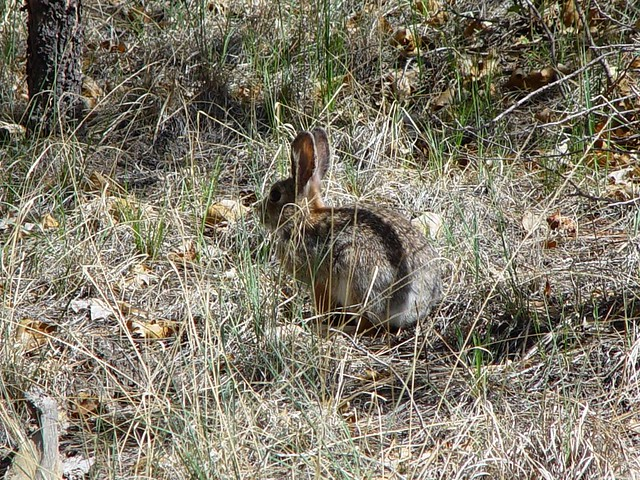 A rabbit on LANL land.