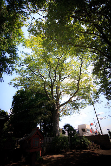 #48 The Giant Zelkova of Naganuma Hachiman Shrine