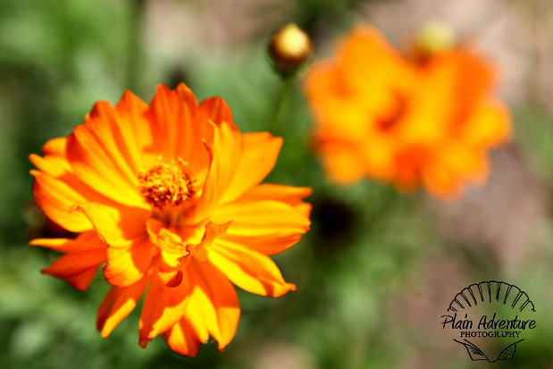 Flora Photography Number 11 - Orange Wildflower