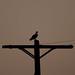 Osprey_2591.jpg
