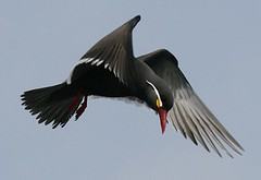 Inca tern - Marine birding in Peru with Nature Expeditions