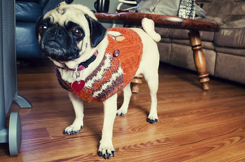 It's Pug sweater weather!