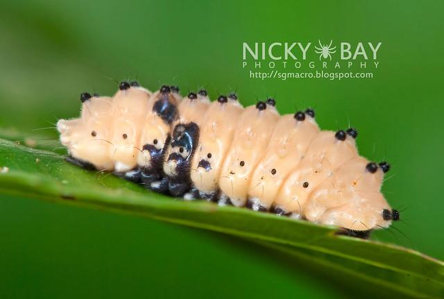Day Flying Moth larva - DSC_6675