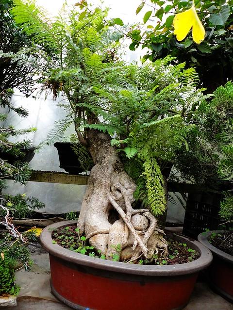 bonsai jacaranda flickr photo sharing. Black Bedroom Furniture Sets. Home Design Ideas