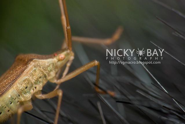 Squash Bug (Coreidae) - DSC_5734