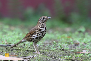 宝兴歌鸫 Chinese Thrush by gychen0715