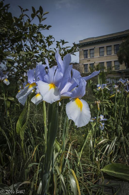117/365 Arcata Iris