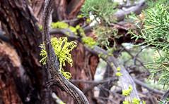 Oregon Badlands Wilderness -- Ancient Juniper Trail