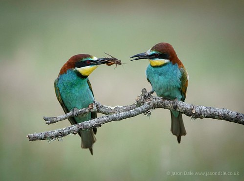 A pair of bee eaters - the male bringing the female food - shot at Calera in Spain #beeeater #beeeaters #birds #birdsofinstagram #birdstagram #birdphotography #nature #natureslens #naturephotography #wildlife #wildlifephotography #birdsinflight #birdsofaf