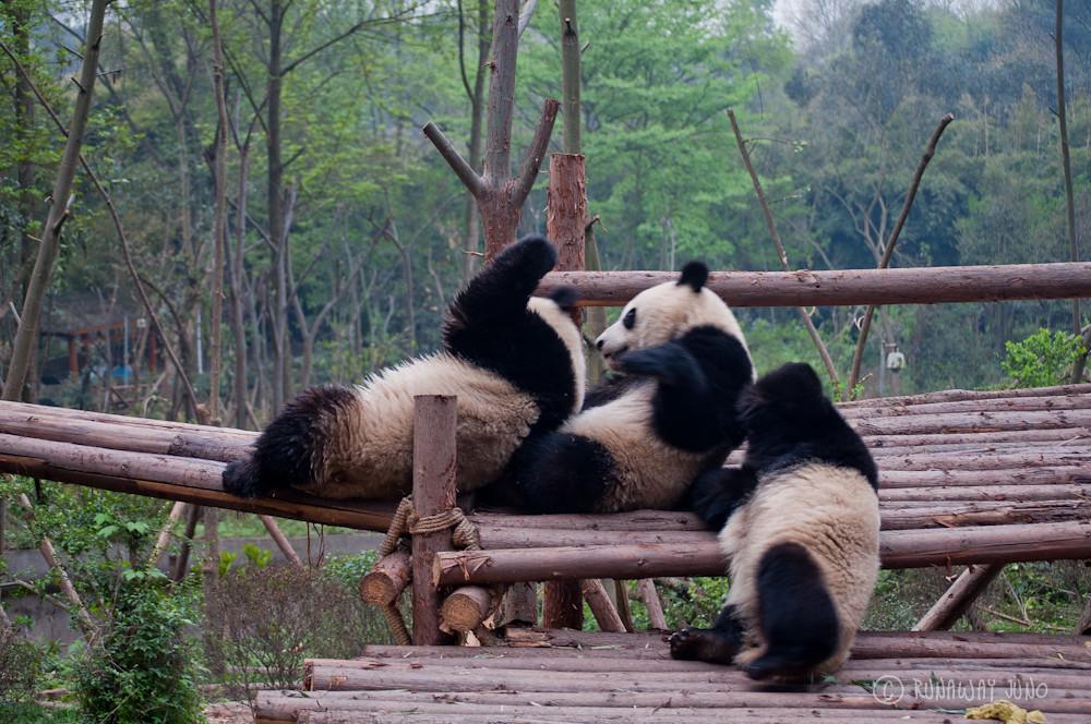 Cup_Panda_hangingout_Chengdu_Sichuan_China