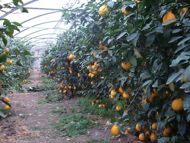 Growing Citrus In Greenhouses Flickr Photo Sharing