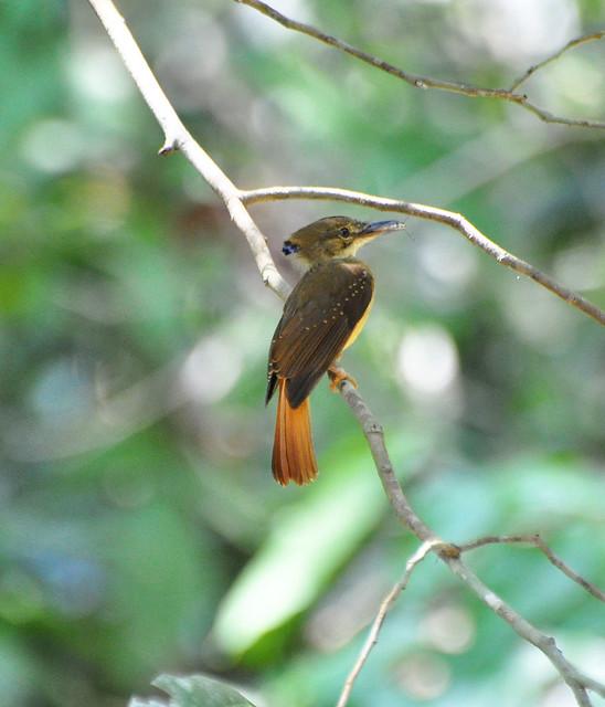 Northern Royal Flycatcher | Onychorhynchus coronatus ...