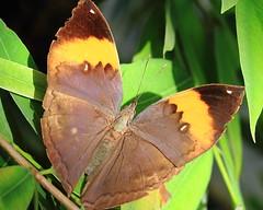Kallima inachus ~ Indian Leaf, Dead Leaf or Orange Oak Leaf Butterfly