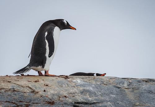 Gentoo Penguin by Duane Miller