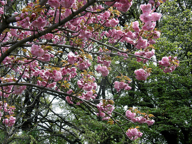 Photo:#3080 Japanese cherry (カンザン) By Nemo's great uncle
