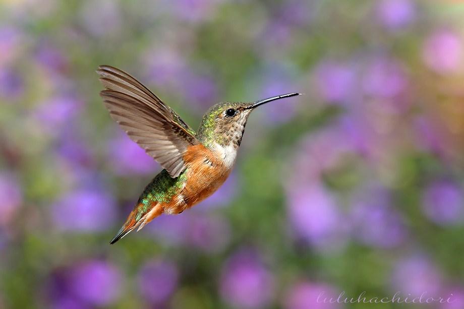 Allan's Hummingbird050212