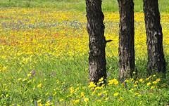 Texas wildflower series