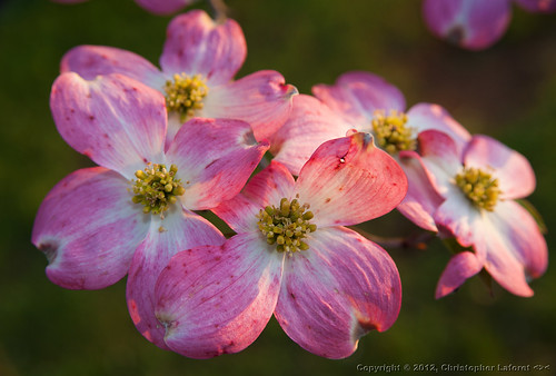 pink flowers morninglight dogwood dogwoods nikond700 nikonflickraward