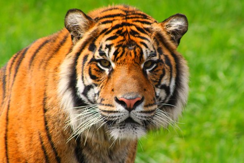 Sumatran Tiger starring at me
