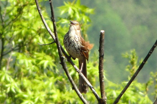 IMG_4795a_Pine_Tree_Overlook_Brown_Thrasher