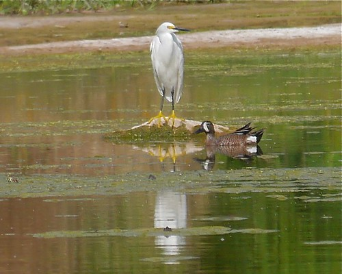 Snowy Egret and Blue-winged Teal