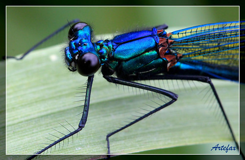 Calopteryx splendens - close up