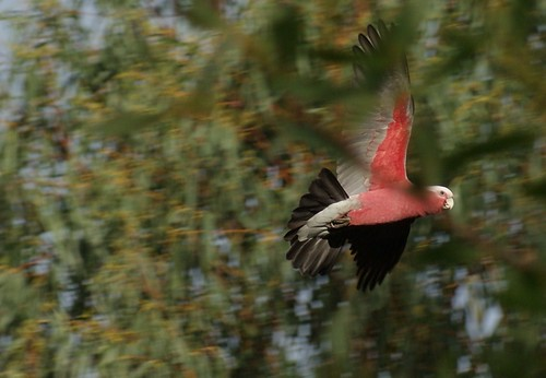 Galah in flight