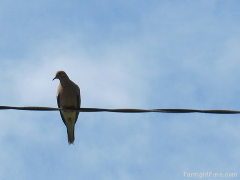 (13) Mourning dove on the high wire - FarmgirlFare.com