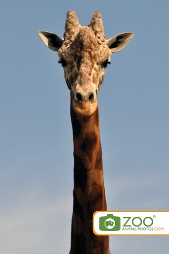 Giraffe long neck