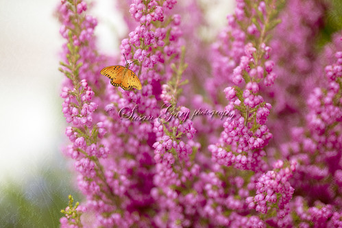 Gulf Fritillary Butterfly on Heather