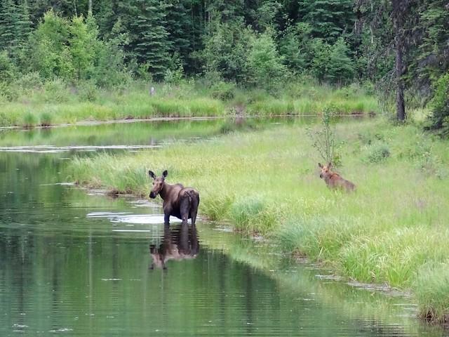 cow and calf moose chena AK