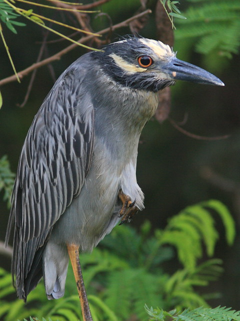Yellow-crowned Night-Heron female 20120724