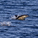 Common Dolphin (Derek Mills)