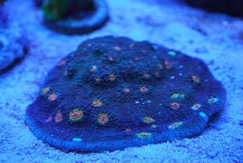 Miami Hurricane Coral Miami Hurricane 40 Eyes $50