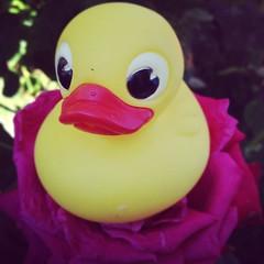 #duck #canard #erotic #hit #hard #cute #nice #sensual #pink #sensation #girl #femmale #bath #sex #porn #pornpics #picsporn #pics #love #loveporn #sexy - Photo of Saint-Martin-de-Bréthencourt