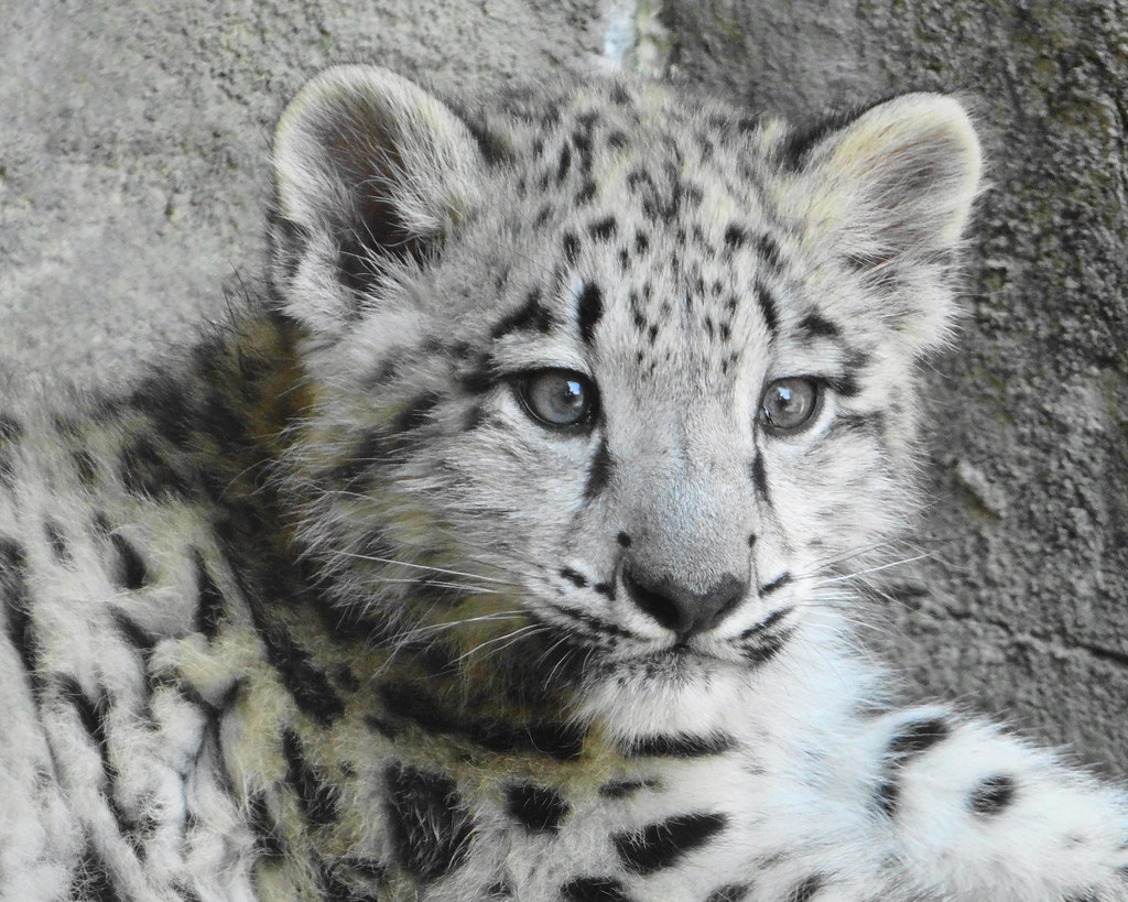 Snow Leopard Cub (For Steve) - a photo on Flickriver