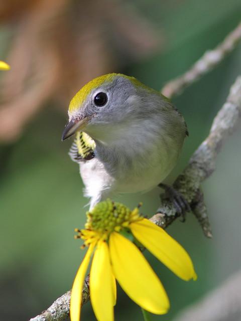 Chestnut-sided Warbler 2-20120824
