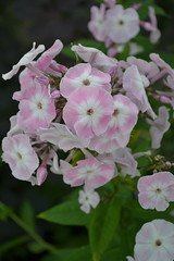 PHLOX paniculata 'Duchess of York'