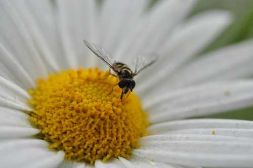 Hover fly and daisy