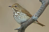 Hermit Thrush by SteveJnerChicago