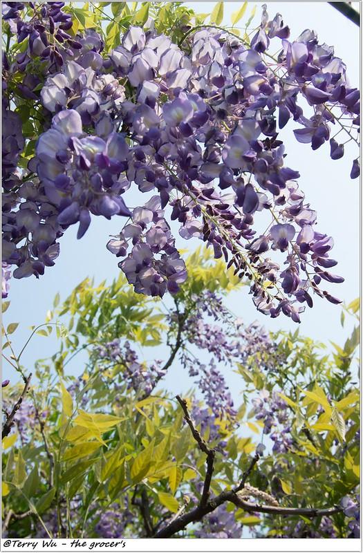 2014-04-05 紫藤花-6
