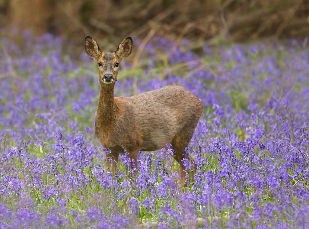 Roe deer in bluebells
