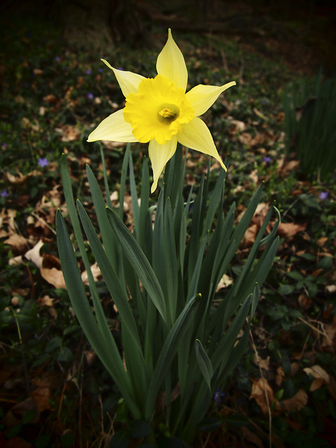 First Dafodil of Spring