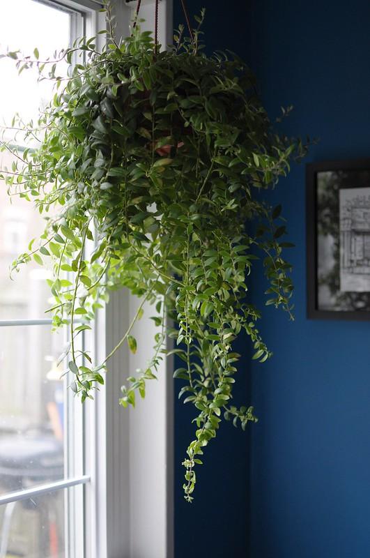 goldfish plant in window