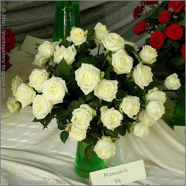 Rosa 'Marousia' - Róża