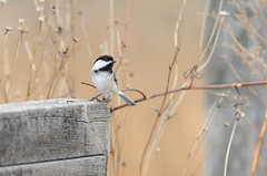 Chickadee on Bridge-2272.jpg by Mully410 * Images