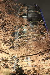 Cherry blossoms of Roppongi Hills at night / 夜桜六本木ヒルズ