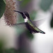 Calliope hummingbird 26_edited-1