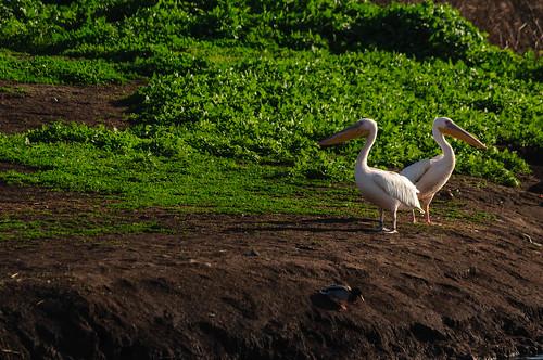 pelicans birds animals israel hula galilee il mideast naturelandscape