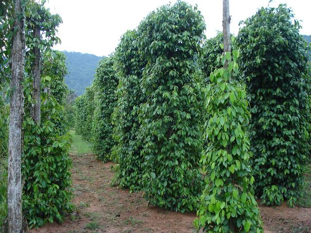 Black Pepper Seed Black Pepper Plants Phu Quoc